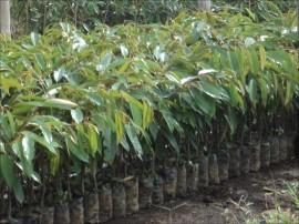 jual bibit durian di padang