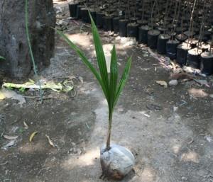 jual bibit kelapa di bogor