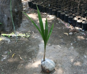 jual bibit kelapa di padang