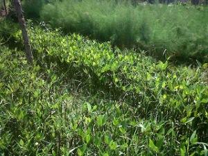 jual bibit bakau mangrove di tarakan