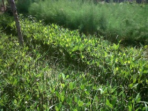 jual bibit bakau mangrove di banjarmasin