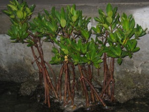 jual bibit bakau mangrove di pekanbaru