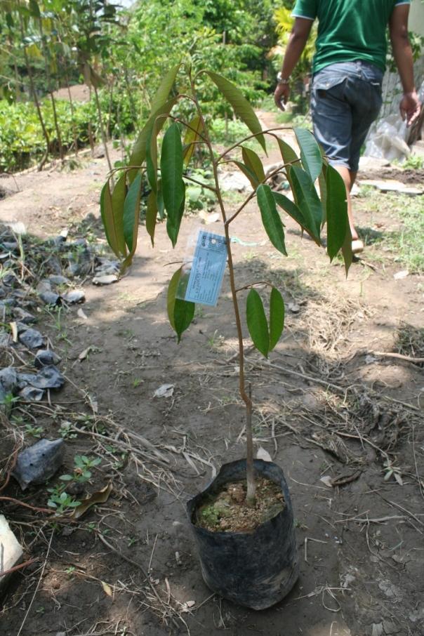 jual bibit durian musang king di Serang