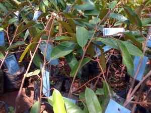 jual bibit durian di sumatera selatan