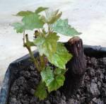 Jual Bibit Anggur di PangkalPinang