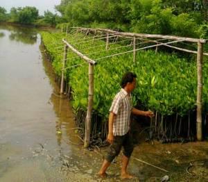 jual bibit bakau mangrove di Lampung