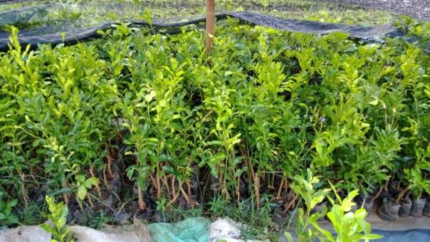 jual bibit jeruk di Buleleng