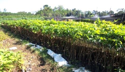 jual bibit mahoni di Bandar Lampung