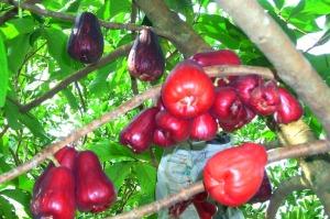 jual bibit jambu jamaika di Bengkayang