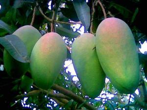 jual-bibit-mangga-di-Bogor