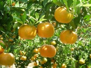 jual tanaman buah di pacitan