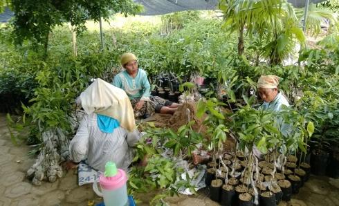 jual bibit mangga manalagi di Palembang