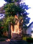 Jual Pohon Pule diGorontalo