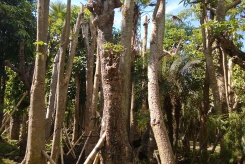 jual pohon pule di Prabumulih
