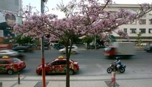 jual pohon tabebuya di Lahat
