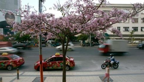 jual pohon tabebuya di Jayapura