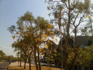 jual pohon tabebuya di pekanbaru