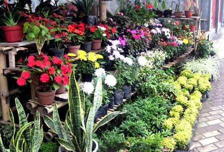 jual tanaman hias di Lahat