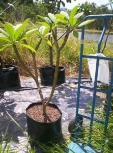 jual pohon kamboja di tarakan
