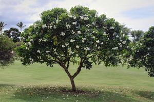 jual pohon kamboja di ambon