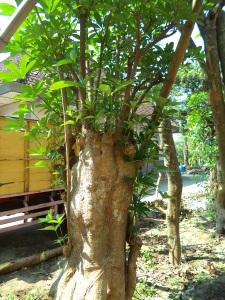 jual pohon pule di sidoarjo