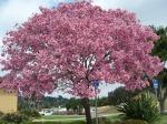 Jual Pohon Tabebuya diTangerang