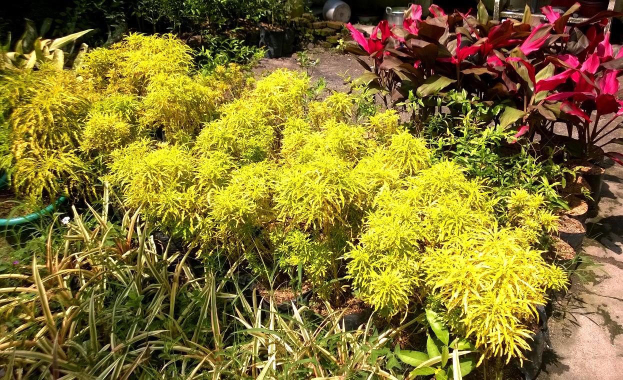 jual tanaman hias di Malang