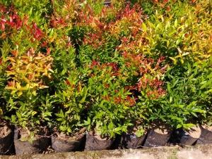 jual pohon pucuk merah