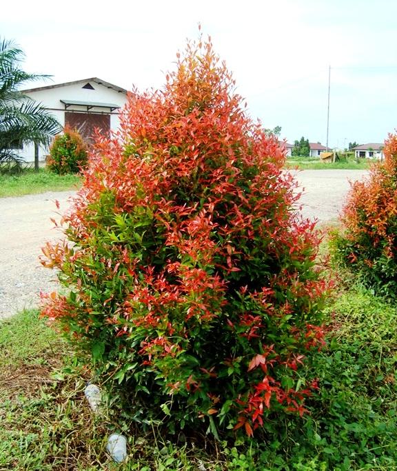 jual pohon pucuk merah di Banyuasin