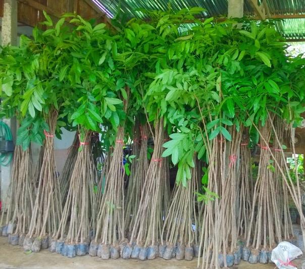 jual bibit pohon mahoni di Bengkulu