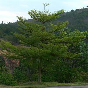 jual pohon ketapang kencana di pontianak