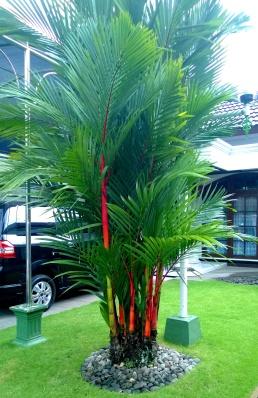 jual pohon palem di Buru