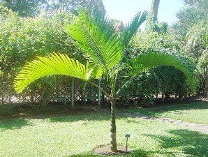 jual pohon palem di Bengkulu