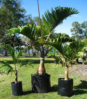 jual pohon palem di Lahat