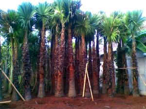 jual pohon palem di yogyakarta