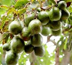 jual tanaman buah di trenggalek