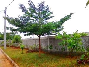 jual pohon ketapang kencana di pekalongan