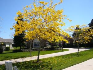 jual pohon tabebuya di cianjur