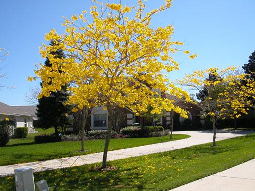 jual pohon tabebuya di Tarakan