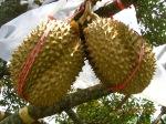 Jual Bibit Durian Musang KingUnggul