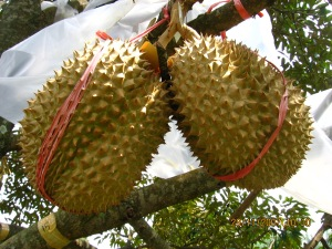 jual bibit durian montong di magetan