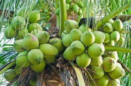 jual bibit kelapa di blora