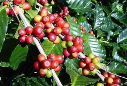 jual bibit kopi di Tondano