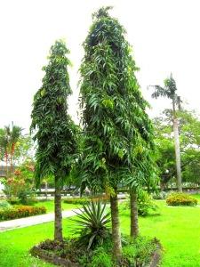 harga pohon glodokan tiang