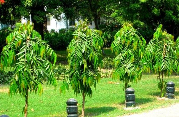 jual pohon glodokan tiang di Bengkulu