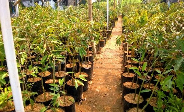jual bibit durian musangking di Serang