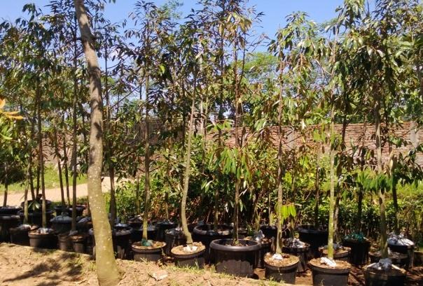 jual bibit durian musangking di Martapura