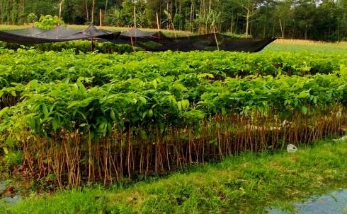 jual bibit pohon mahoni di Bogor