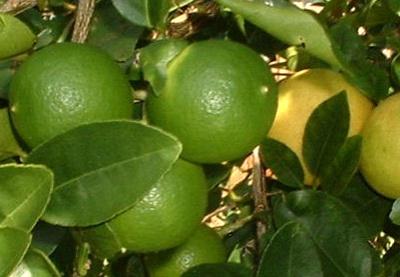 jual bibit jeruk nipis di pekanbaru