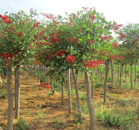 jual pohon dadap merah Binjai